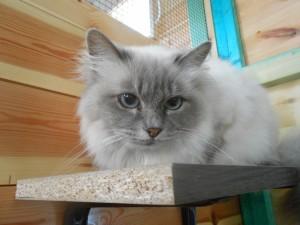 Kitty (Heil.Birmaan)